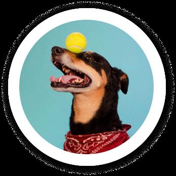 Dog balancing tennis ball